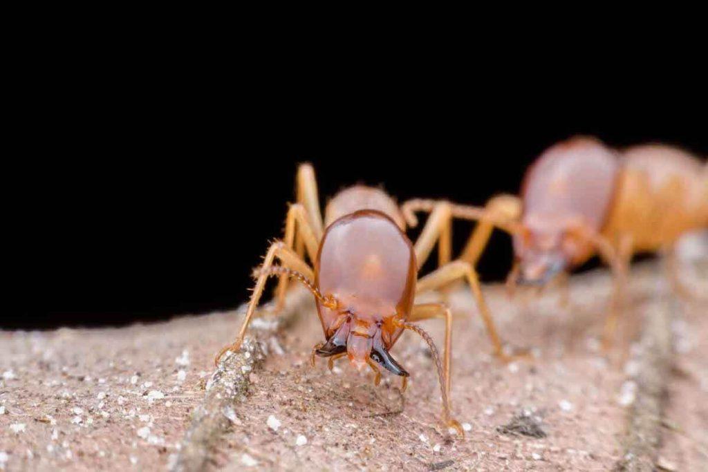 soñar con termitas